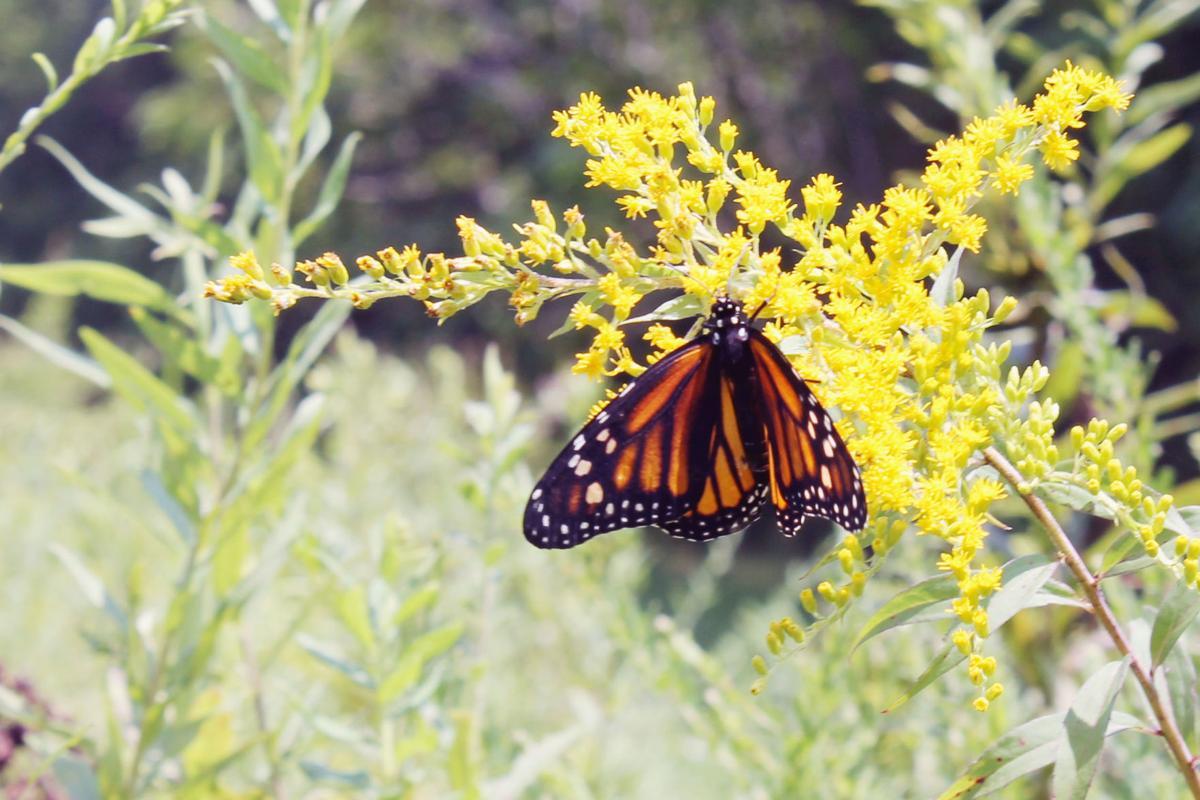 HOSC Butterfly inset crop ADJ.jpg