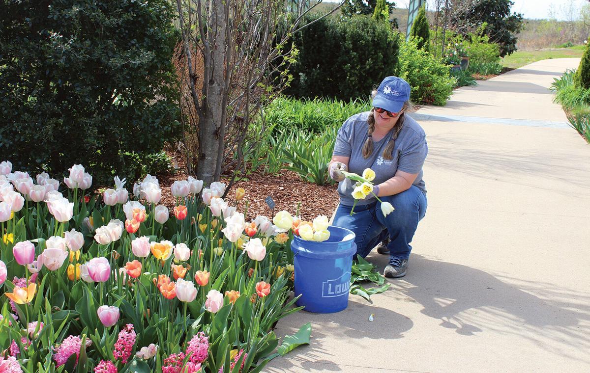 Tulsa Botanic Garden tulips