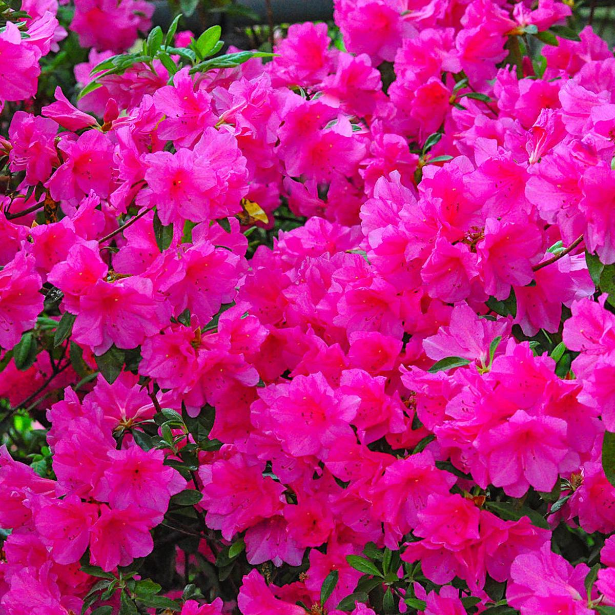 Master Gardener: Keep your azalea bushes looking beautiful ... on old house plant, yellow house plant, withered house plant, twisted house plant, waxy house plant, reviving a wilted plant, dry house plant, dying house plant, dead house plant,