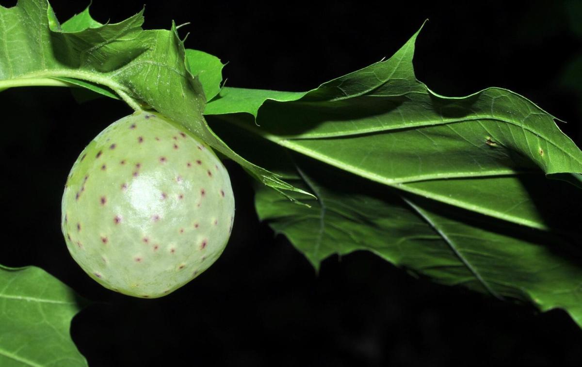 oak apple galls