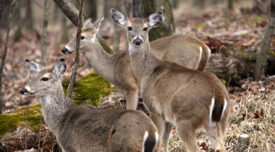 antlerless deer season