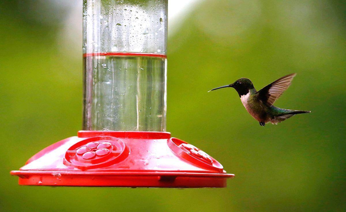 Master Gardener Attract Hummingbirds Through Plants Feeders Home
