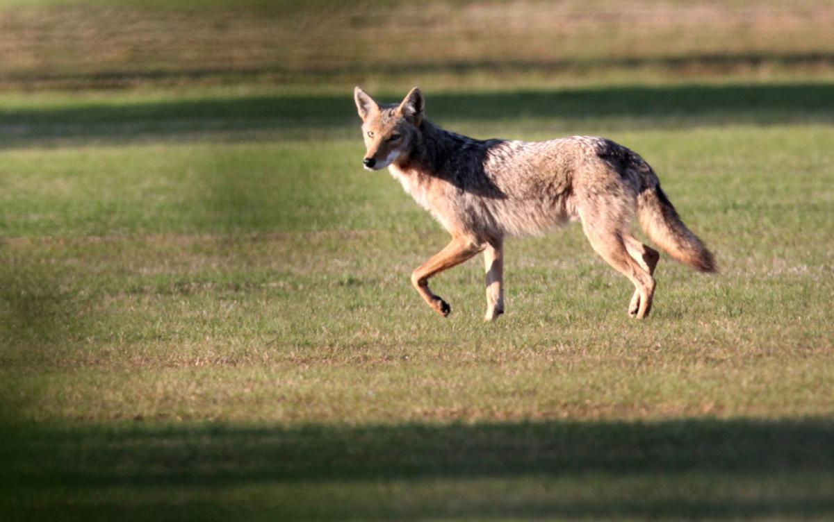Coyotes creeping closer to downtown Tulsa areas   News