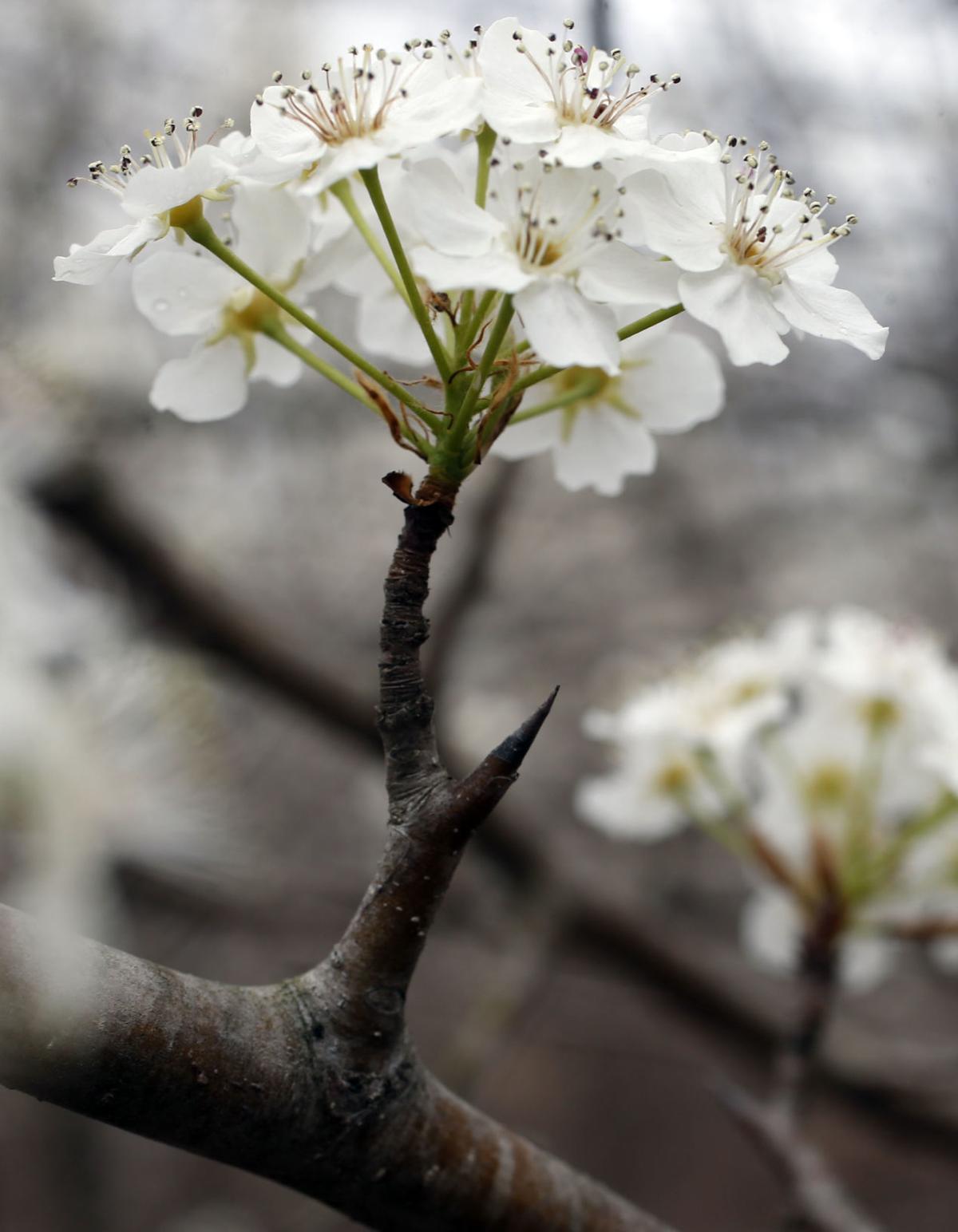 Master Gardener White Flowering Bradford Pear Trees Have Dark