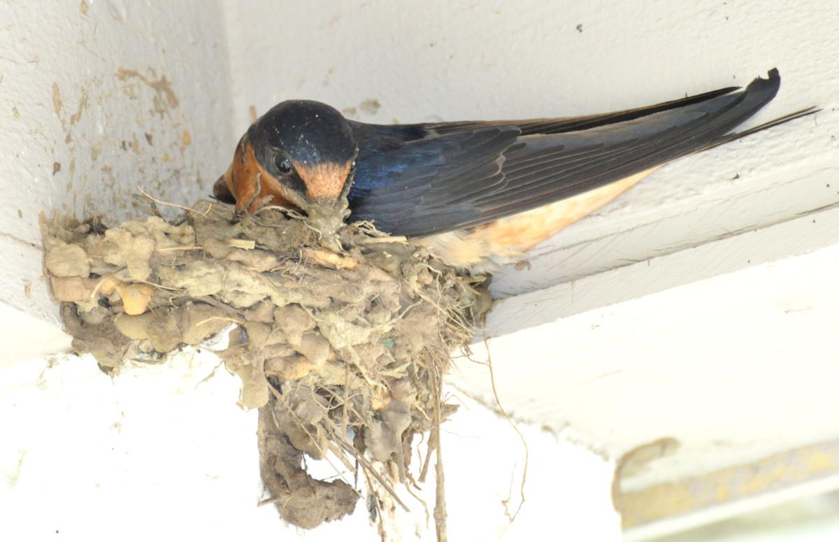 Bird Watch: Swallows make home of mud, straw and feathers ...