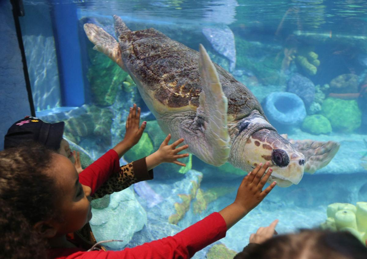 Oklahoma aquarium unveils its highly anticipated sea for Turtle fish tank
