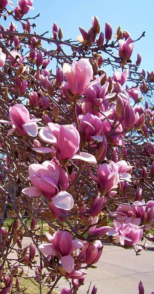 Saucer Magnolia Often Mistaken For Tulip Tree Home Garden