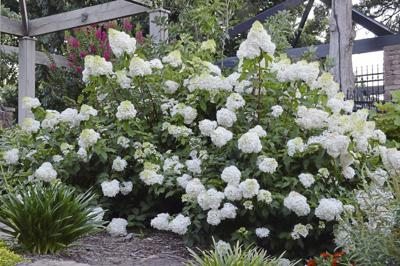 Phantom hydrangea require little maintenance (copy)