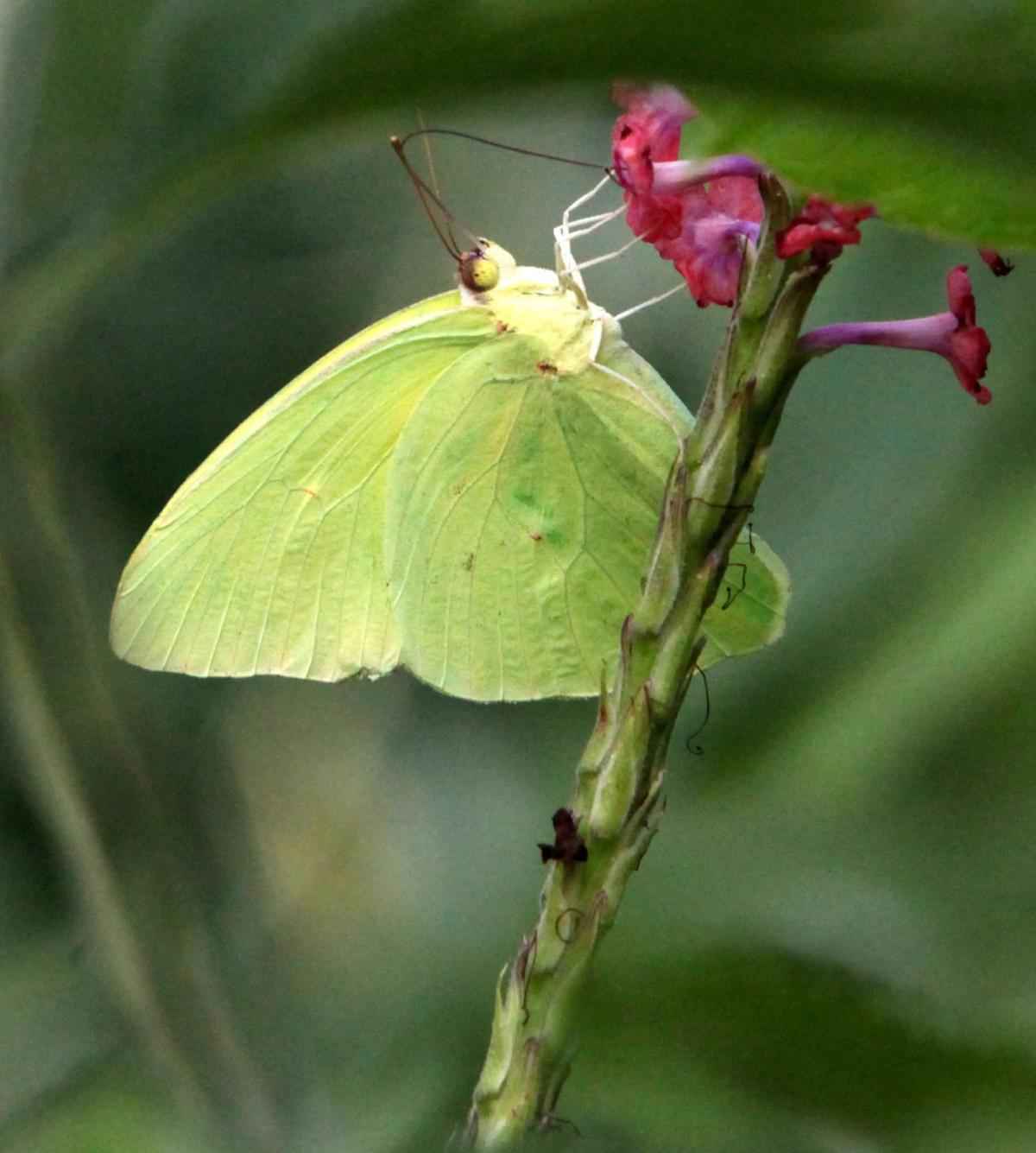 Nature Gardens @ NHM: L.A.'s Urban Nature: First Clouded ... |Clouded Sulphur Butterfly
