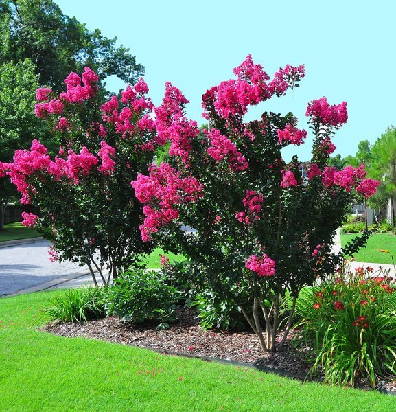 Master Gardener: Plant crapemyrtles now before cool weather lowers soil temperatures (copy)