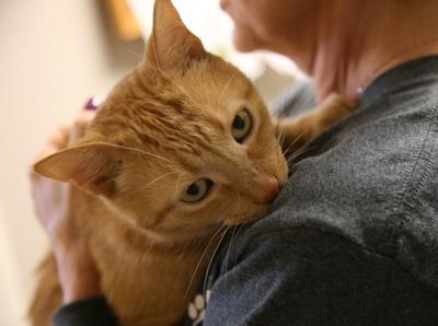 Abyssinian Cat Adoption