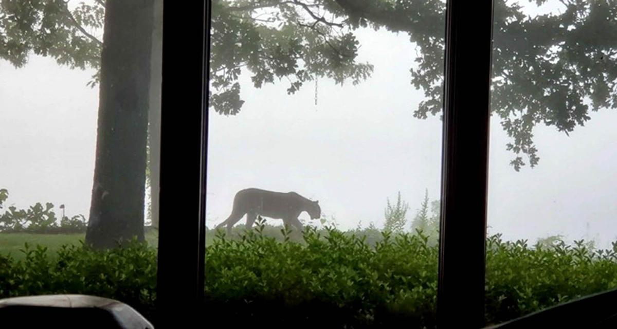 Mayes mountain lion