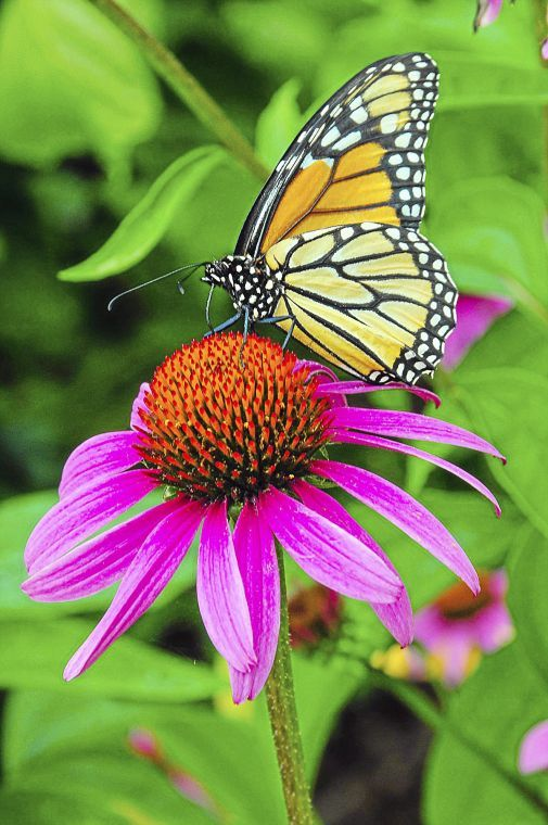 Master Gardener: Creating A Butterfly Garden Is As Easy As Plant Choice,  Placement