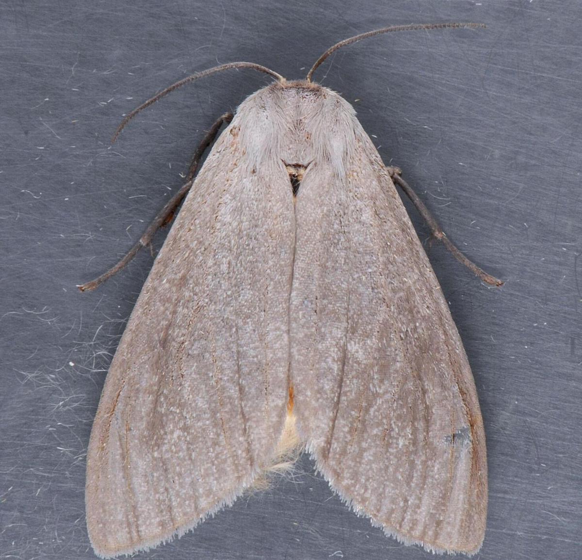 tussock moth 2