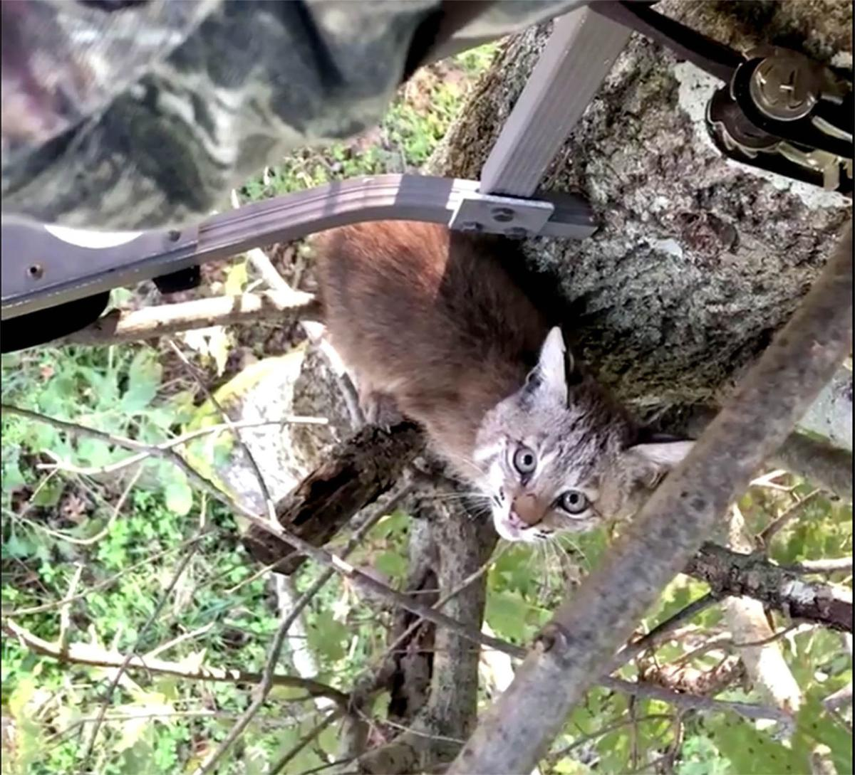 Bobcat kittens visit area deer hunter in his tree stand