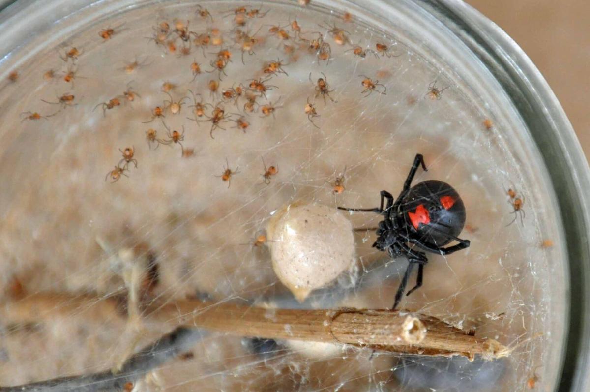 Black Widow Spider with Egg Sac & Babies (c).jpg