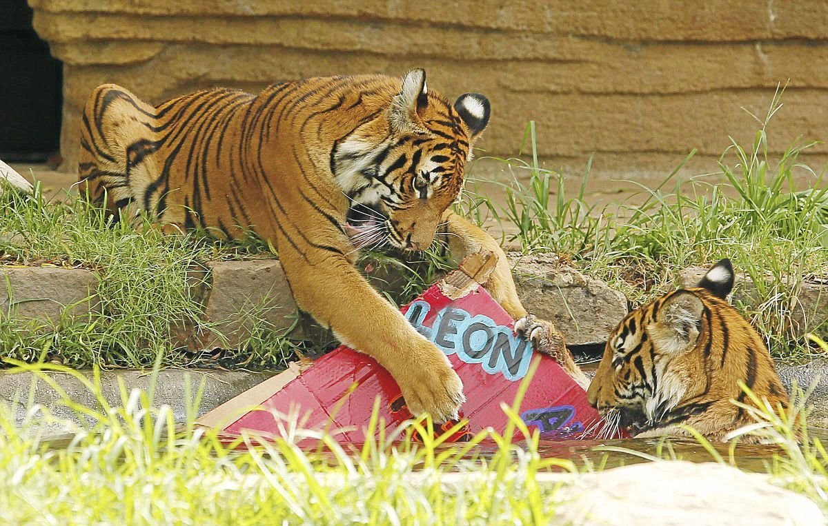 Three endangered tiger cubs celebrate first birthday at Tulsa Zoo