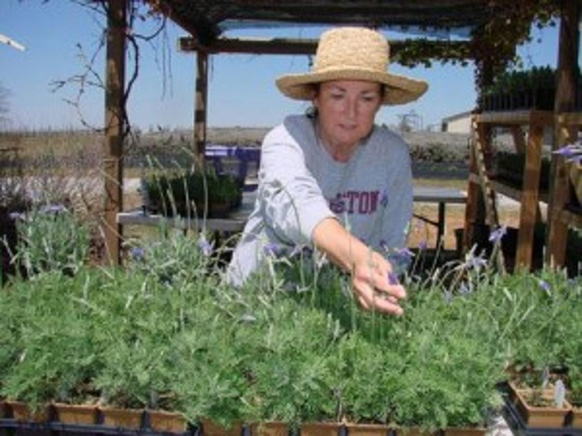 Experience Provence In Oklahoma At Stone Bluff Lavender Festival News Tulsaworld Com