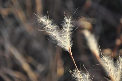 Nature Note: Splitbeard Bluestem