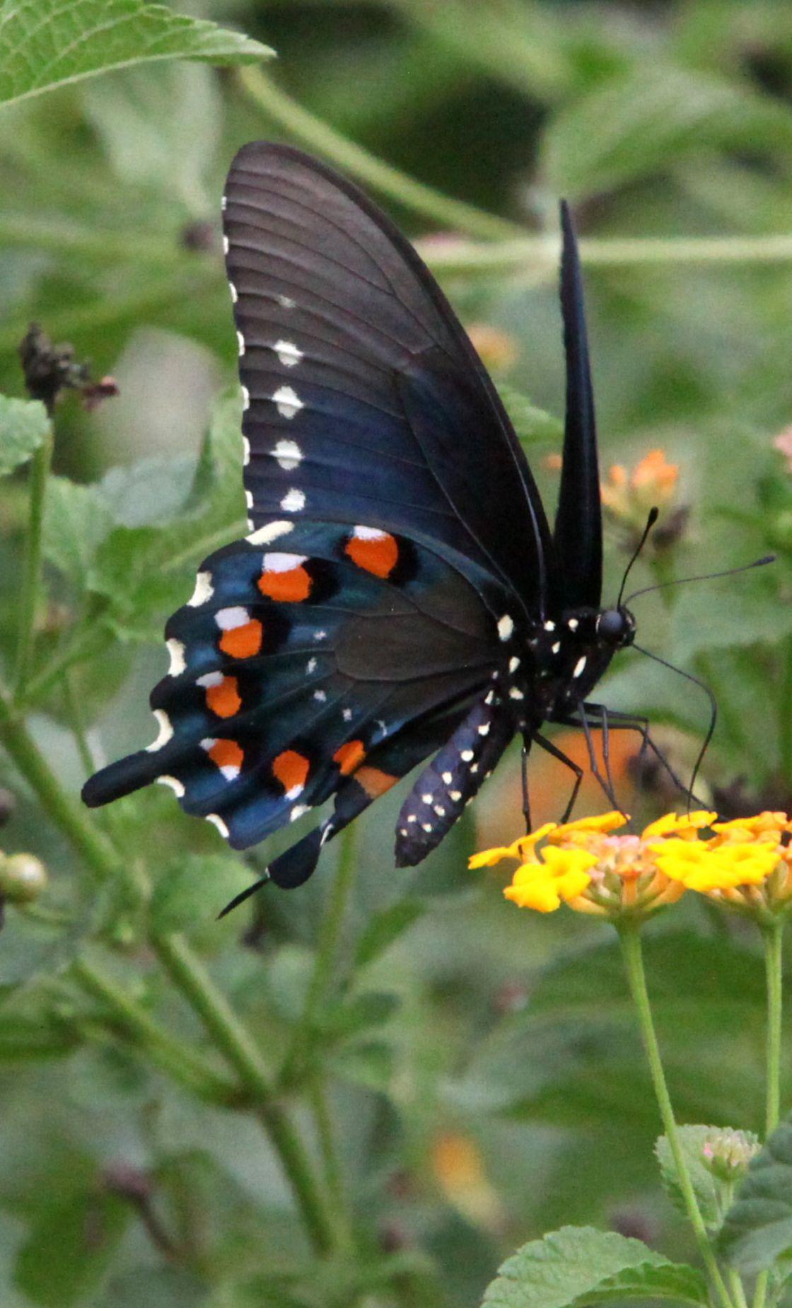 Pipevine Swallowtail |Pipevine Swallowtail Butterfly