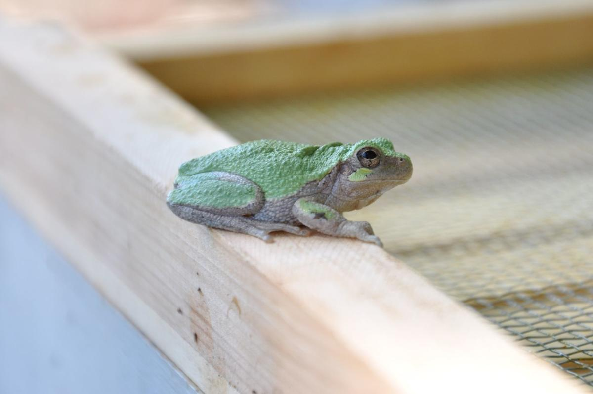 Cope's Gray Treefrog on Beehive (001a).JPG