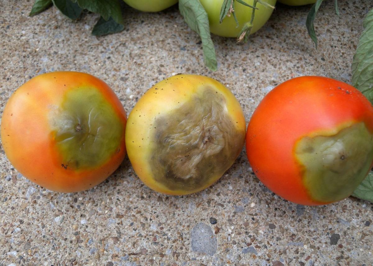 tomato blossom end rot