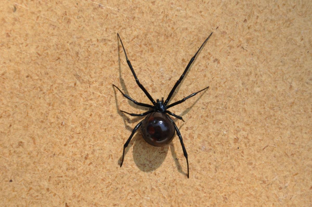 Black Widow Spider in Bee Hive (b).JPG