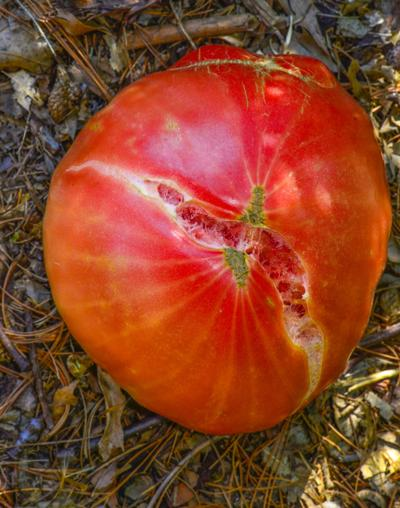 Master Gardener: Tips for growing tomatoes in Oklahoma | Home