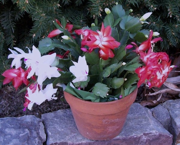 Christmas cactus a flowering plant for winter season (copy)