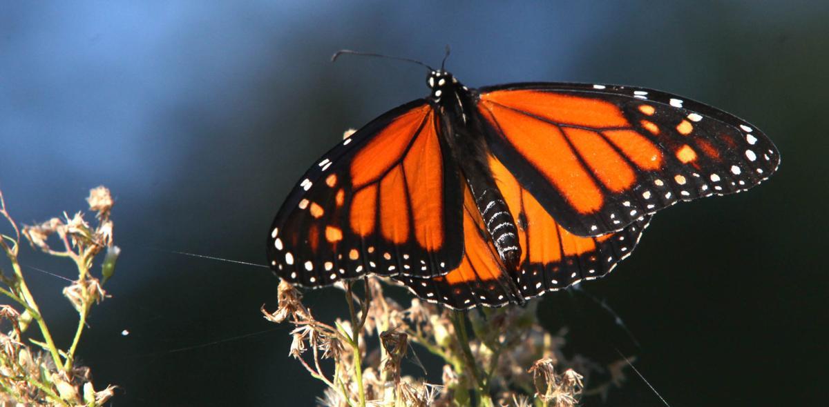 gathering place monarch (copy) (copy)