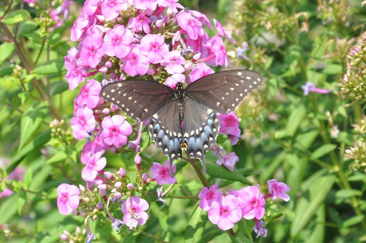 Swallowtail, Black, Female (003a).JPG