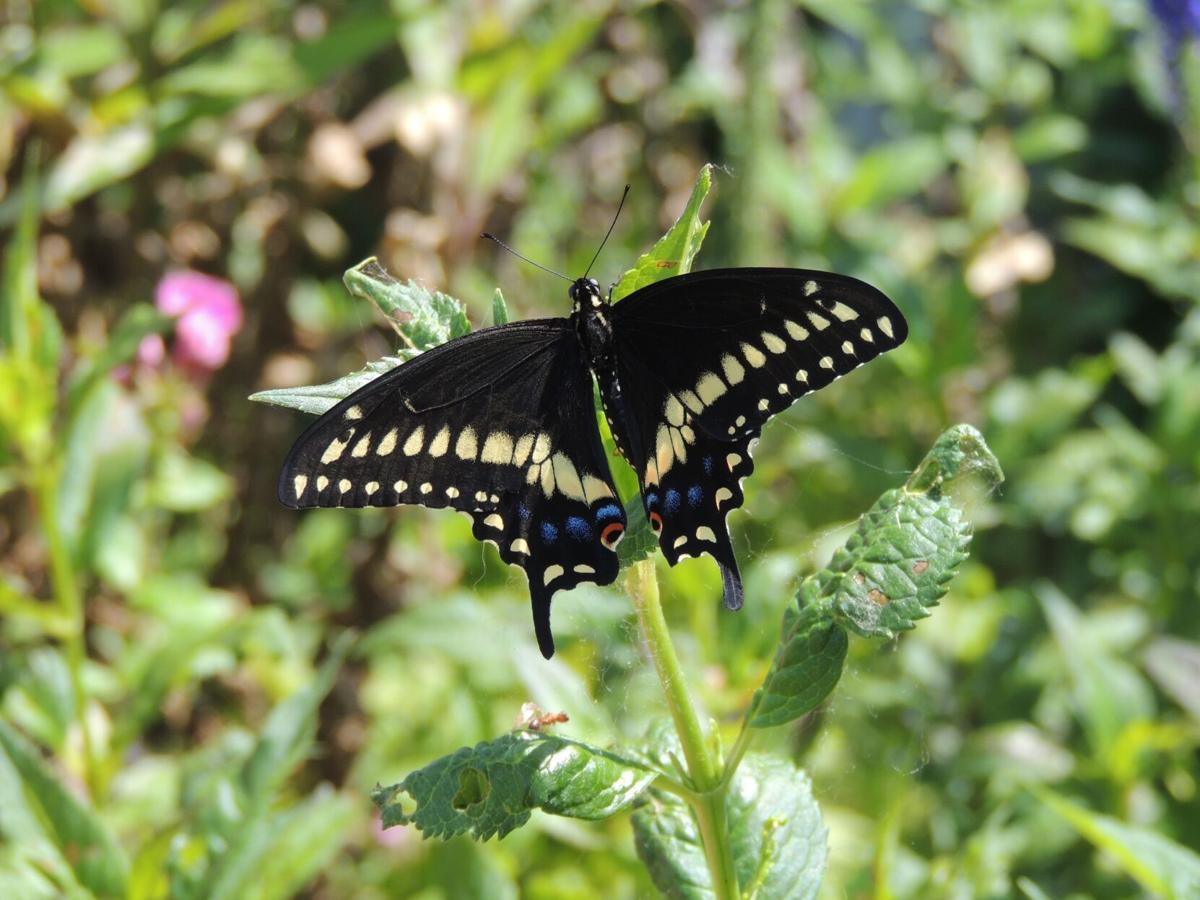 Swallowtail, Black, Male (001a).JPG