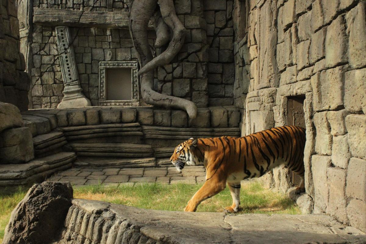 Tiger Leaving Cave.jpg