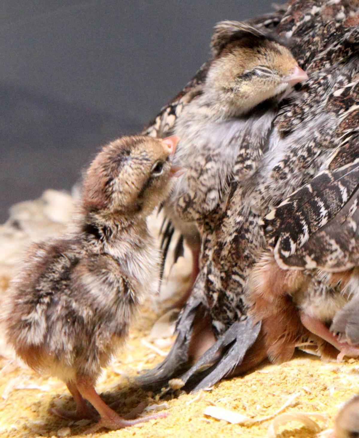 masked bobwhite quail project