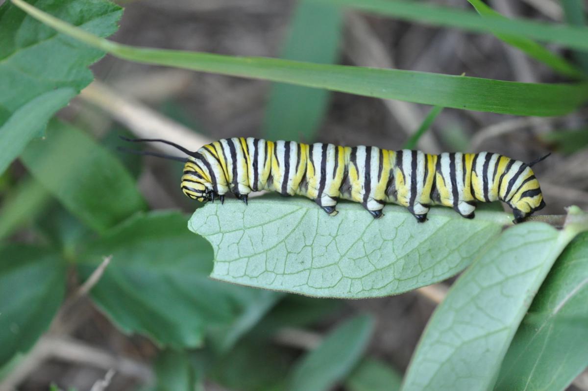 Monarch Caterpillar on Milkweed (004).JPG