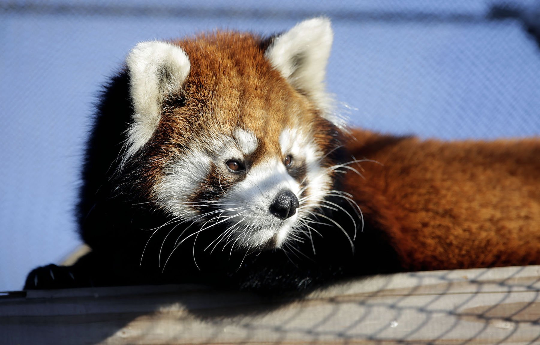 Image of: Endangered Species Red Panda Indias Endangered Tulsa Zoos Red Panda An Endangered Species Now On Display Local