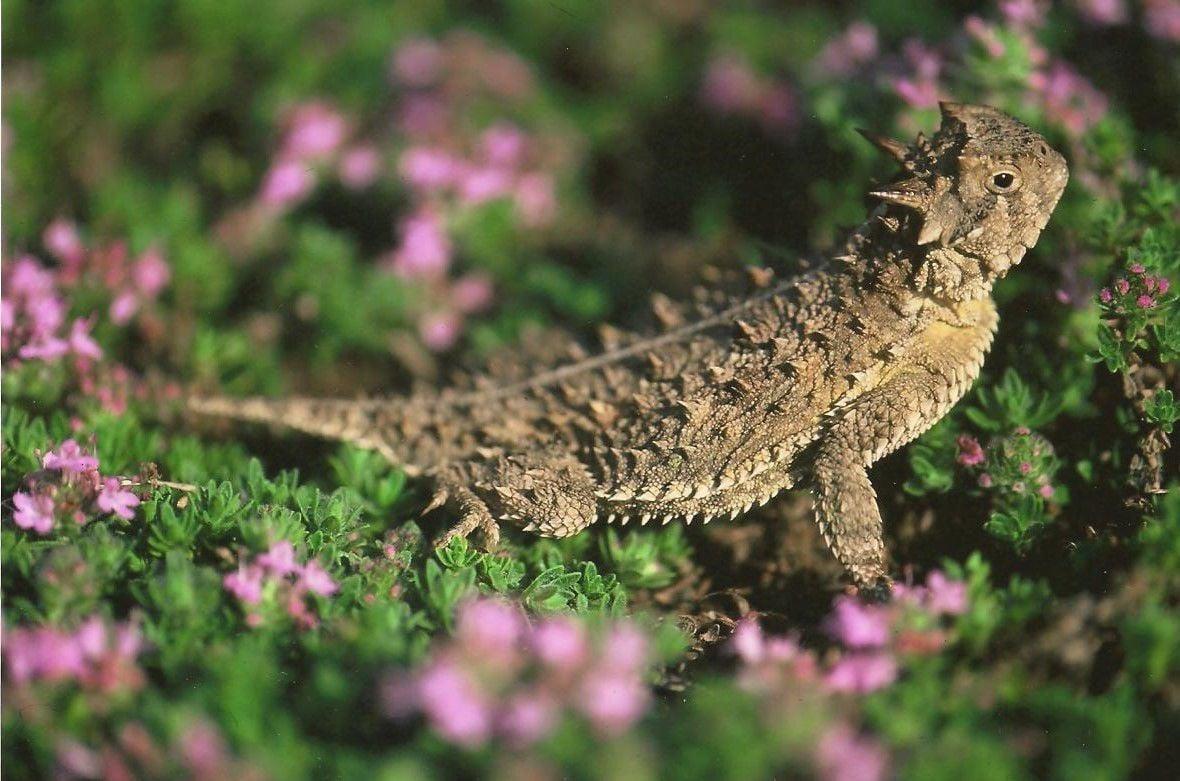 Texas Horned Lizard_edited-2.jpg