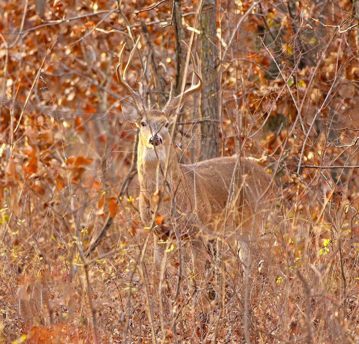 roadway deer