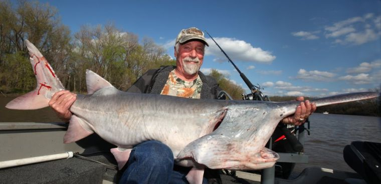 Kelly bostian paddlefish mortality in catch and release for Spoonbill fish oklahoma