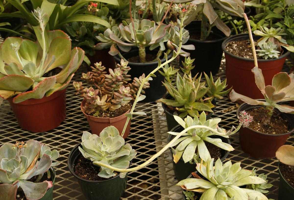 Succulents and cacti thrive in summer heat | Home & Garden ...