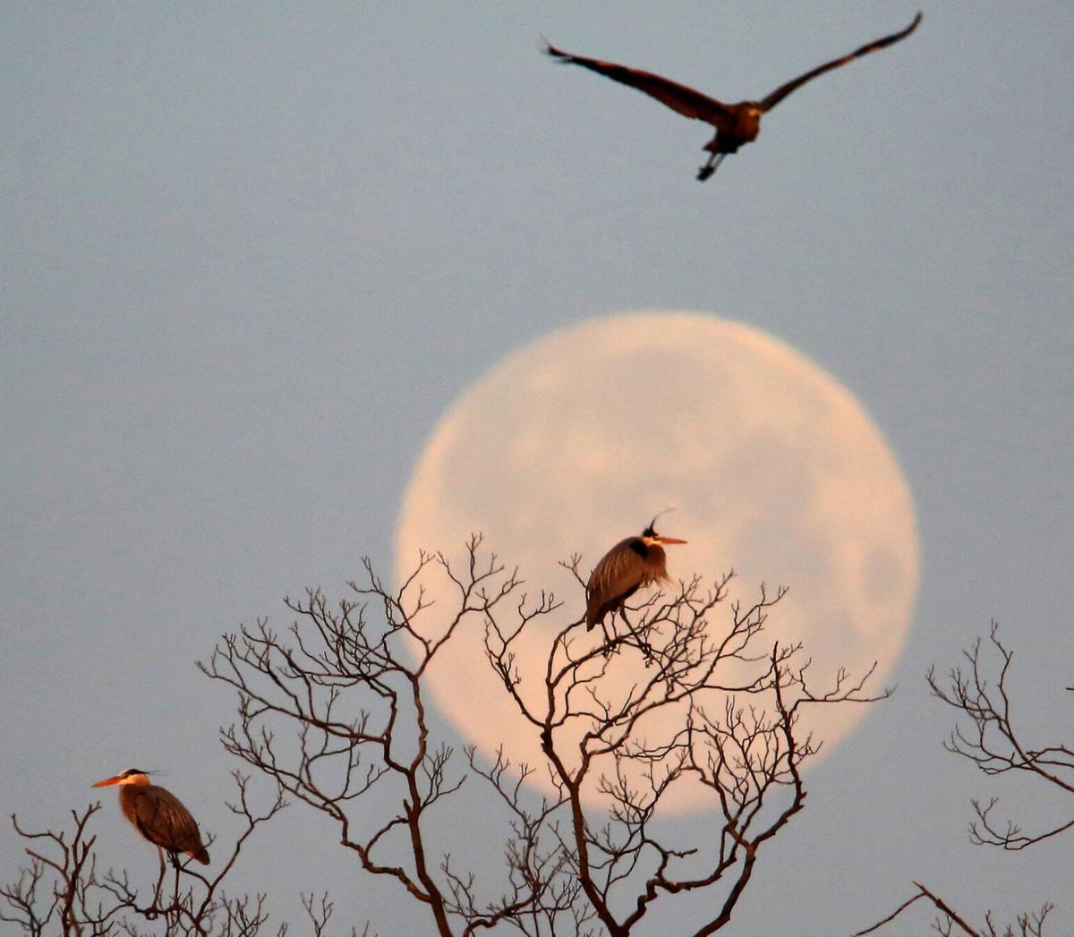 Full moon and herons