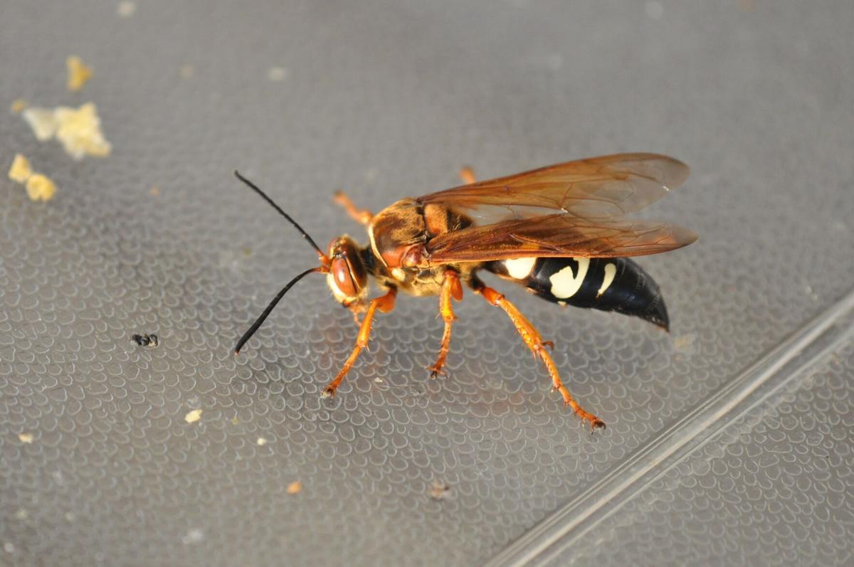 Cicada Killer (002b).JPG