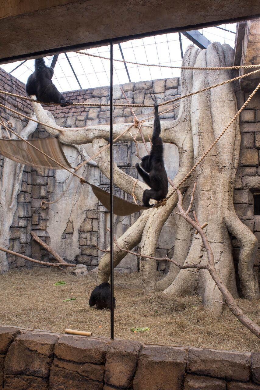 Chimpanzees Inside.jpeg