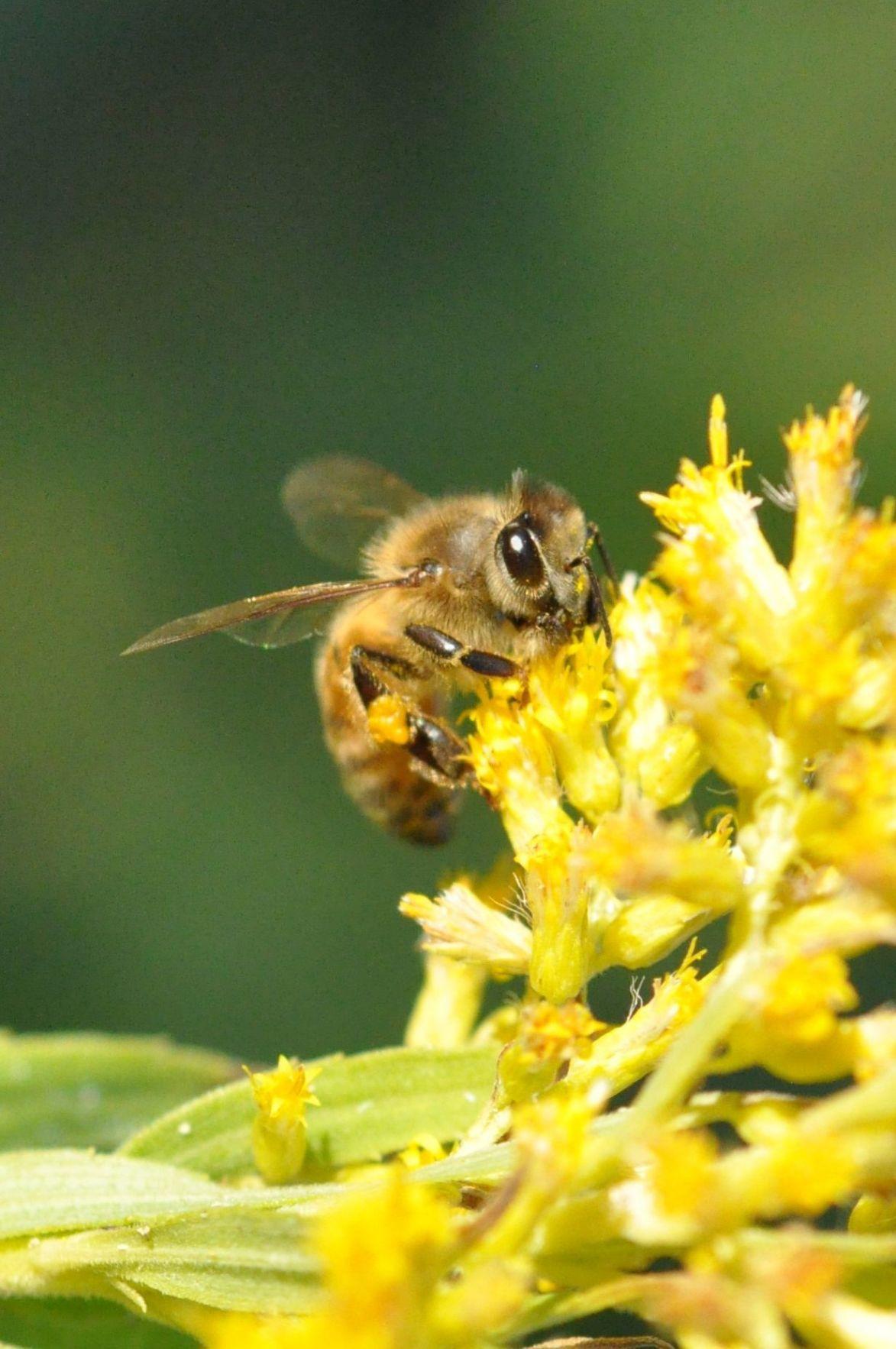 Honeybee on Goldenrod, 12-4-15 (002b).JPG