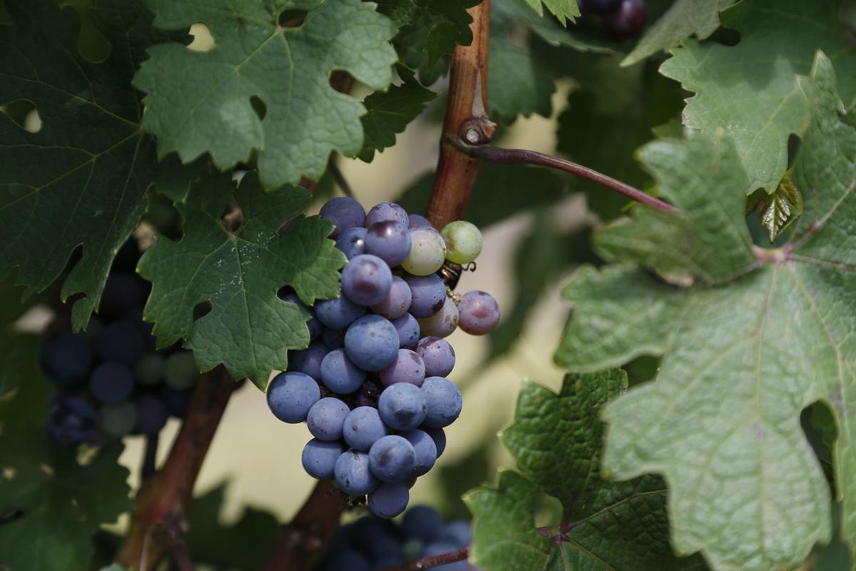 Pecan Creek Winery grapes