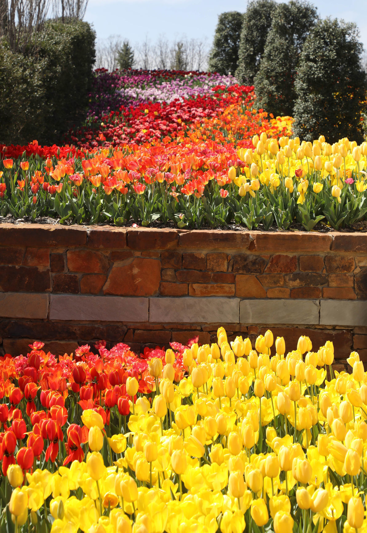 Photo gallery: Tulips are in full bloom at Tulsa\'s Botanic Garden ...