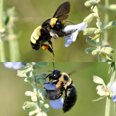 Black Bumble Bee >> World Around You Do You Know Your Bumble Bees And Carpenter