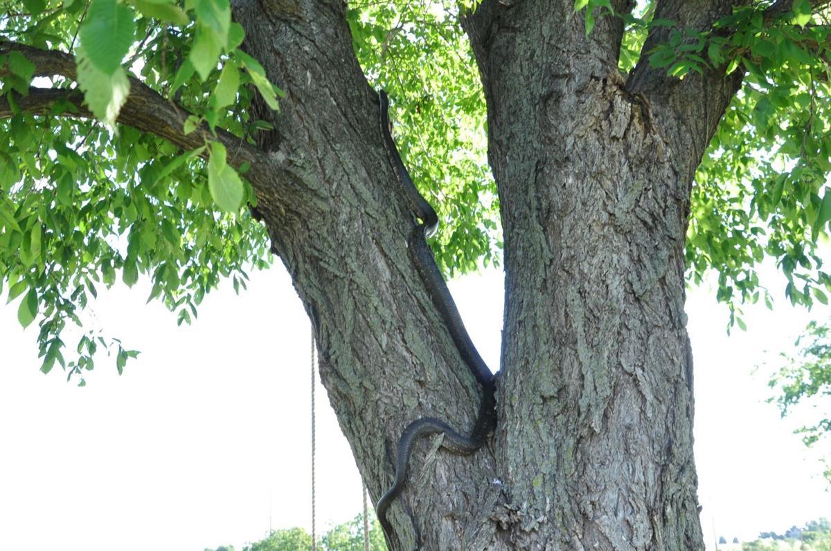 Black Rat Snake Climbing Elm (b).JPG