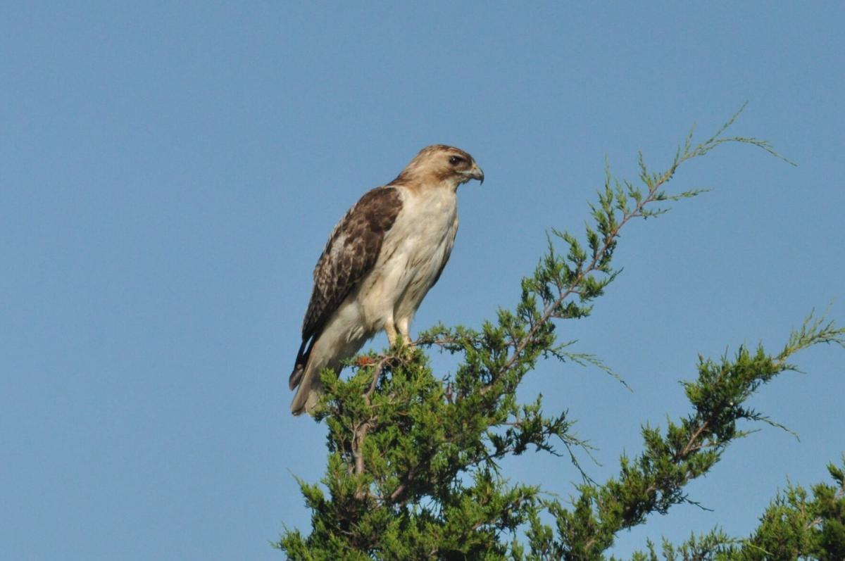 Red-tailed Hawk (002b).JPG