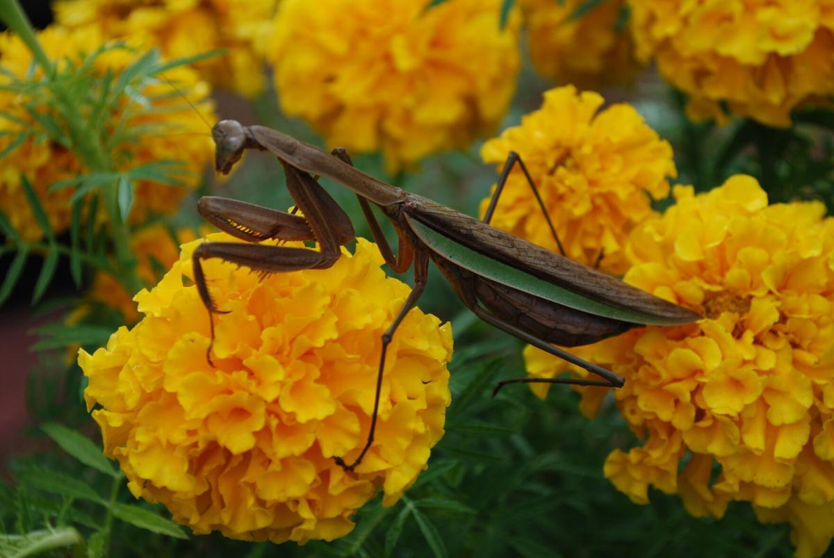 Praying Mantis (copy)